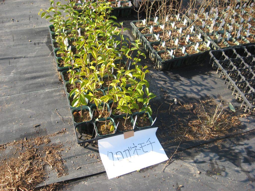 地域性苗木